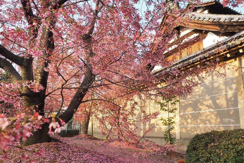 京都賞櫻景點》京都出町柳長德寺,粉色櫻花地毯好浪漫