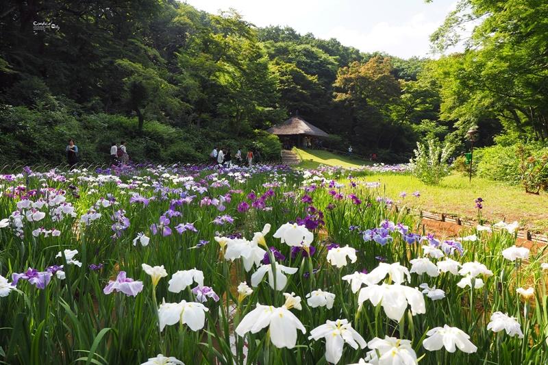 【東京景點】明治神宮,6月必訪明治神宮御苑,花菖蒲正開超美!