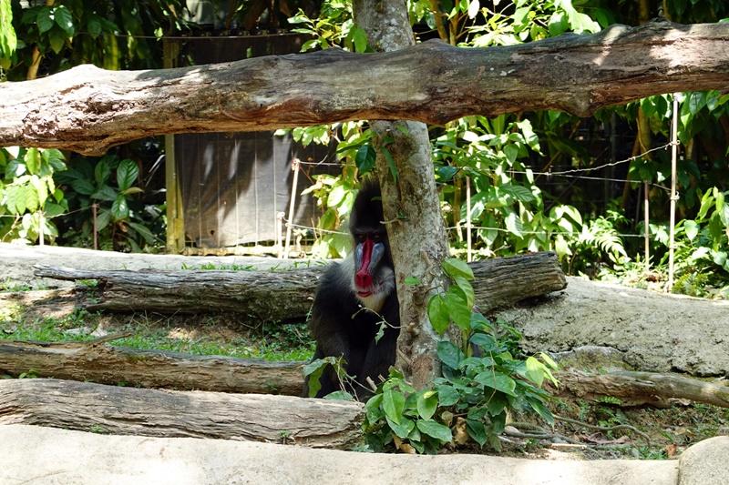 新加坡動物園|跟猩猩一起吃動物園早餐,餵長頸鹿超棒體驗,新加坡親子景點必訪!