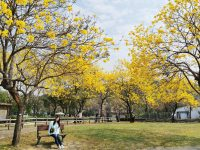 廍子公園|台中黃金風鈴木花,超美金黃公園!風鈴花正盛,台中景點! @陳小沁の吃喝玩樂