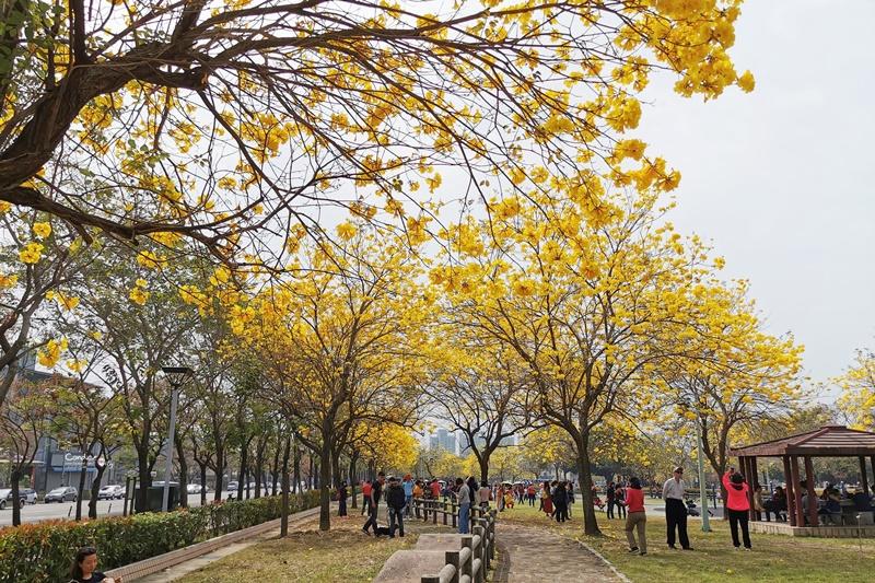 廍子公園|台中黃金風鈴木花,超美金黃公園!風鈴花正盛,台中景點!