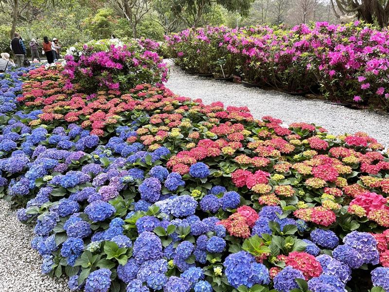 大安森林公園繡球花 絕美杜鵑冶園開放,台北最方便賞花公園!