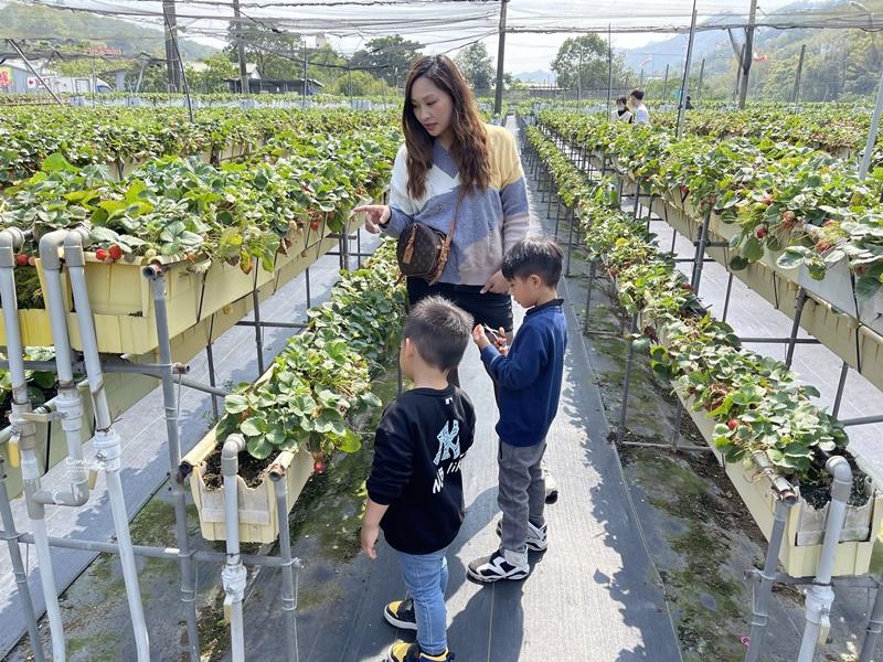 六合草莓休閒農場|大湖採草莓推薦!高架草莓園,免蹲低好方便!