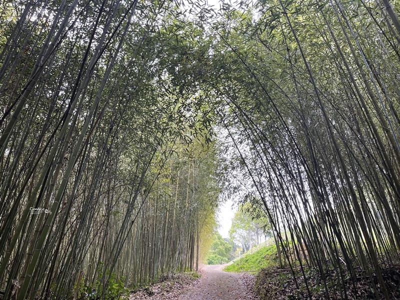 烏嘎彥竹林|台版嵐山+個人私房景點!泰安竹林秘境太美了(苗栗免費景點)
